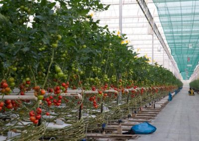 Lange-Tomatenreihen