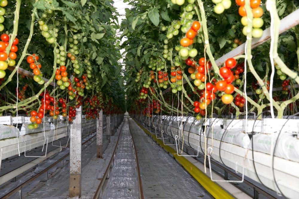 Der Neusser Karneval und die Tomaten aus Neurath